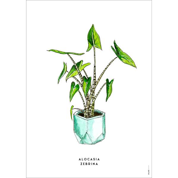 Poster Plant Zebrina  - 6 stuks