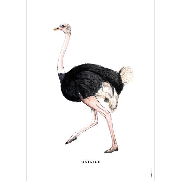 Poster Struisvogel - 6 stuks