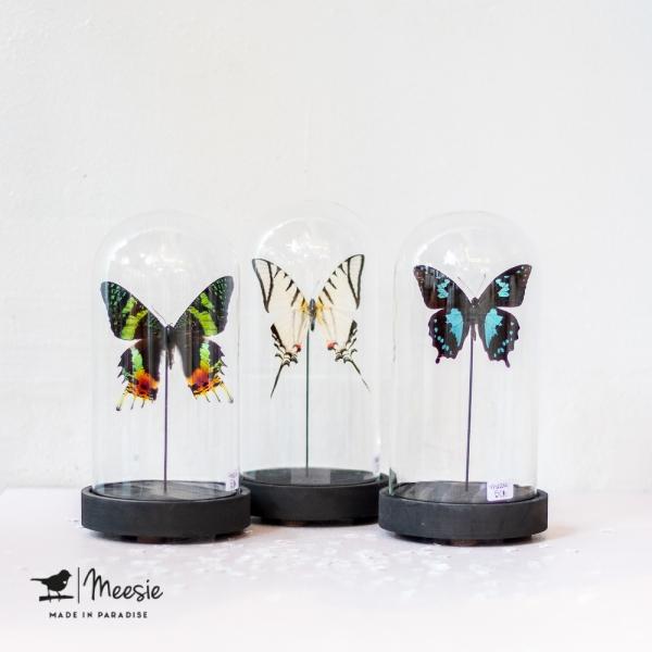 Vlinder in hoge Medium stolp - 3 stuks